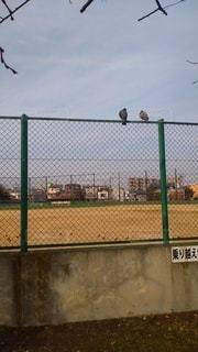 フェンスに仲良く並ぶハトの写真・画像素材[3231006]