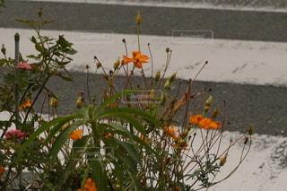 車道に咲く花の写真・画像素材[2599599]