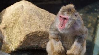 猿の写真・画像素材[97932]
