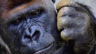 猿の写真・画像素材[99408]