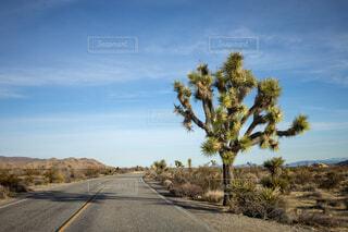 ジョシュアの木の写真・画像素材[4215550]