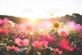 秋のピンクに輝く黄色い夏の写真・画像素材[2684893]
