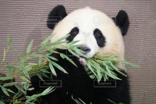 カメラを気にしながらも笹がおいしいパンダの写真・画像素材[2506081]
