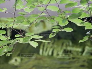 葉っぱのクローズアップの写真・画像素材[3358682]