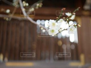 桜と格子の写真・画像素材[4274314]