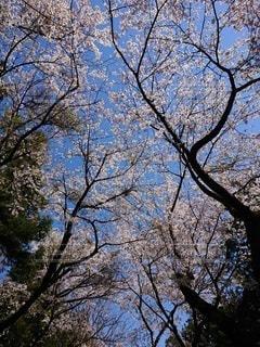 桜の写真・画像素材[2611530]