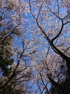 桜の写真・画像素材[2688984]