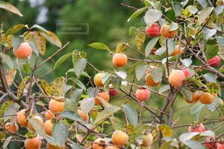 秋の実りの写真・画像素材[2513339]