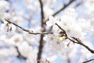 桜の写真・画像素材[2513752]