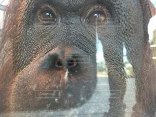 猿の写真・画像素材[96431]