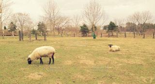 緑豊かな野原で放牧する羊の群れの写真・画像素材[2510318]