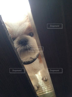 隙間から覗く犬の写真・画像素材[2512153]