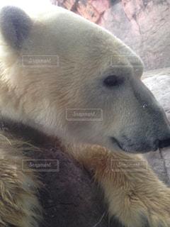 動物園のホッキョクグマの写真・画像素材[2513117]