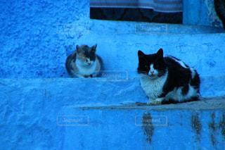 青の街 シャウエンの猫の写真・画像素材[2970732]