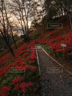大地を染める彼岸花の写真・画像素材[2512949]