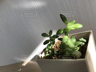 多肉植物の写真・画像素材[3014028]