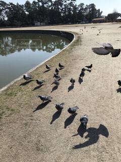 列をなしてついてくる鳩の写真・画像素材[4184010]