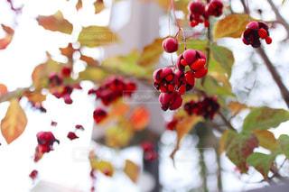 赤い実をつけた木の写真・画像素材[2553239]