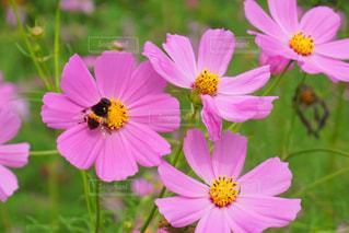 花のクローズアップ 蜂とコスモスの写真・画像素材[2514653]