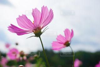花のクローズアップ コスモス 薄暗めの写真・画像素材[2514657]