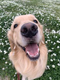 犬 ゴールデンレトリバー 笑顔の写真・画像素材[3141558]