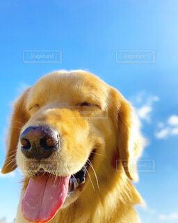 ゴールデンレトリバー かわいい 笑顔 散歩の写真・画像素材[4058755]