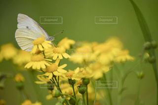 菜の花と蝶の写真・画像素材[2515510]