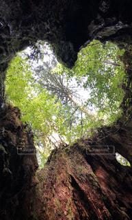 森の中の大きな木の写真・画像素材[2542993]