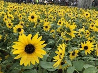 黄色い花の写真・画像素材[2537720]