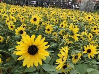 黄色い花の写真・画像素材[2537727]