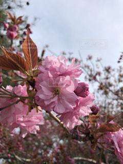 ピンクの花の写真・画像素材[2556164]