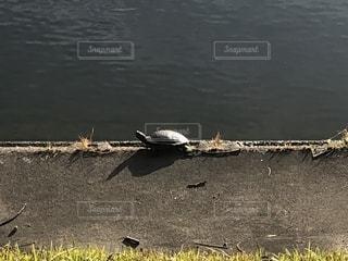 亀の写真・画像素材[2724968]