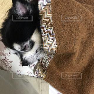 チワワの寝顔の写真・画像素材[2543023]