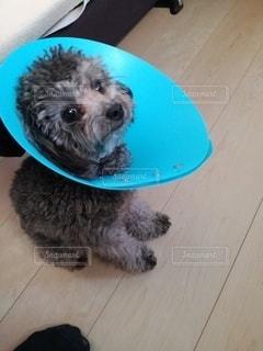 エリザベスカラーをしている犬の写真・画像素材[2529408]