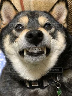 カメラを見ている犬のクローズアップの写真・画像素材[2819667]