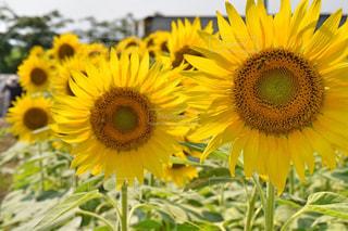 向日葵と蜜蜂の写真・画像素材[2536551]