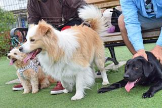 ドッグランを楽しむ犬達の写真・画像素材[2546430]