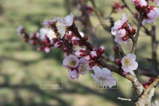 梅の花の写真・画像素材[1050451]