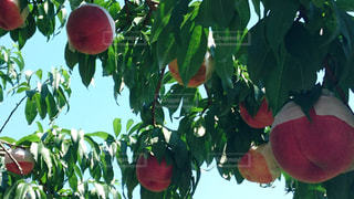 桃の収穫の写真・画像素材[2528669]