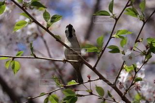 桜の木にとまるスズメの写真・画像素材[2578654]