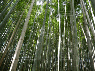 京都の竹の写真・画像素材[2530986]
