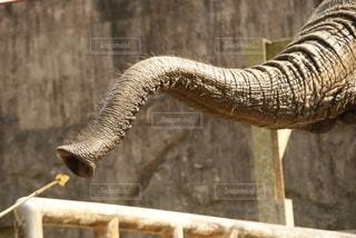 ゾウさんの鼻の写真・画像素材[2586773]