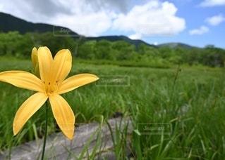 力強く咲く1本のニッコウキスゲの写真・画像素材[2569541]