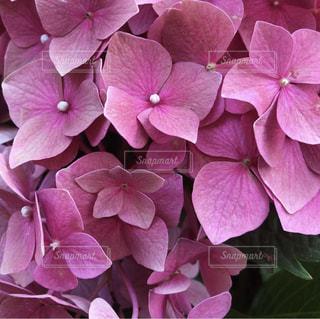 紫色の花の束のクローズアップの写真・画像素材[2542059]