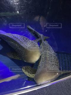 ジンベイザメの夫婦の写真・画像素材[2526594]