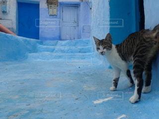 モロッコ、シャウエンの猫の写真・画像素材[2643472]