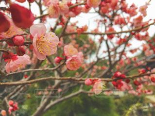 梅の花の写真・画像素材[2521656]