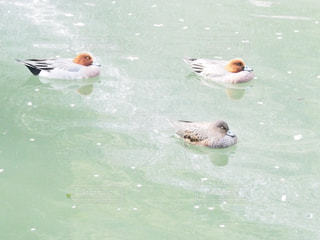 水の中で寝る鴨の写真・画像素材[2548484]