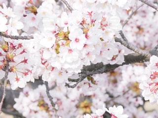 桜クローズアップの写真・画像素材[2548487]