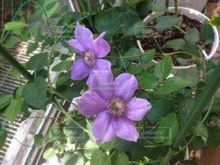 花の写真・画像素材[110043]